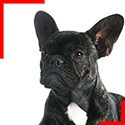 Brindle Frenchie