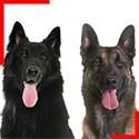 Belgian Shepherd (4 breeds)