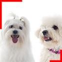 Bichons (3 breeds)