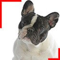 Brindle Pied Frenchie