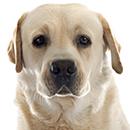 L03 Labrador @Cyno.png