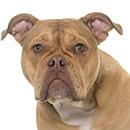 O01 Old English Bulldog T.jpg
