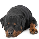 R12 Rottweiler C.png